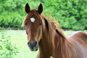 portrait eines braunen pferdes